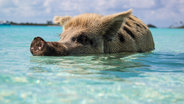 pig in the sea